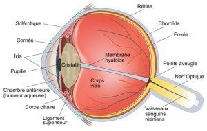 oeil anatomie vision